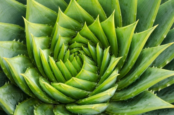 spiral aloe vera with water drops, closeup - fractal stock photos and pictures