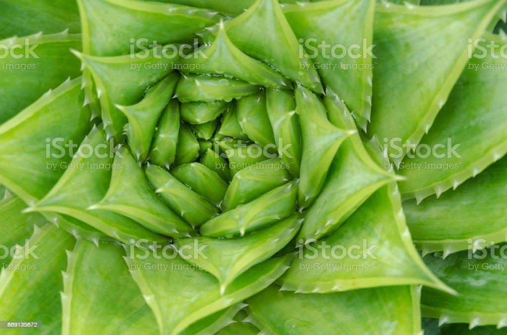Spiral aloe vera with water drops, closeup stock photo