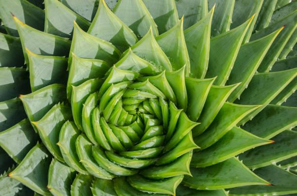 螺旋蘆薈水滴, 特寫 - 重複螺旋型 個照片及圖片檔