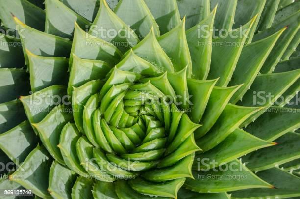 Photo of Spiral aloe vera with water drops, closeup