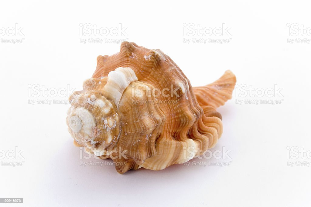 spiral cockle-shell isolated on white stock photo