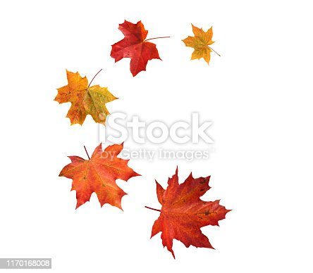 Spiral flying heap of canada maple tree red autumn leaves isolated on white