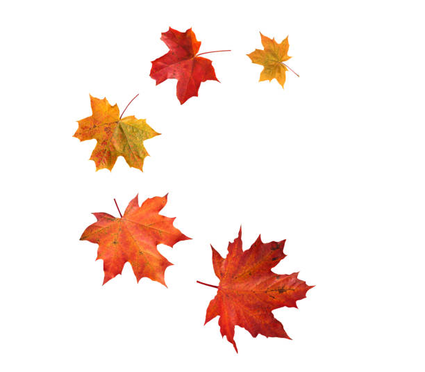 Spiral flying heap of canada maple tree red autumn leaves Spiral flying heap of canada maple tree red autumn leaves isolated on white fall leaves stock pictures, royalty-free photos & images