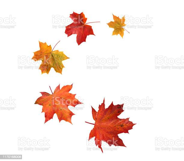 Photo of Spiral flying heap of canada maple tree red autumn leaves
