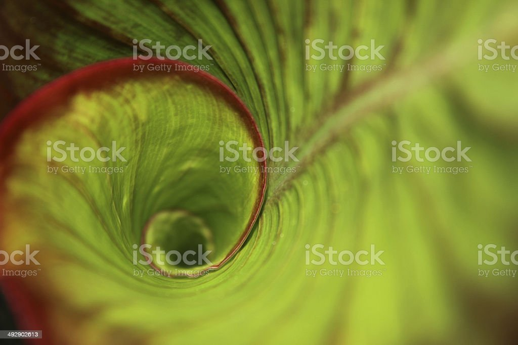 Spiral green leaf in the rainforest with dew drops stock photo