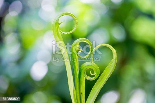 Spiral green leaf,Fern leaf close-up with dew.