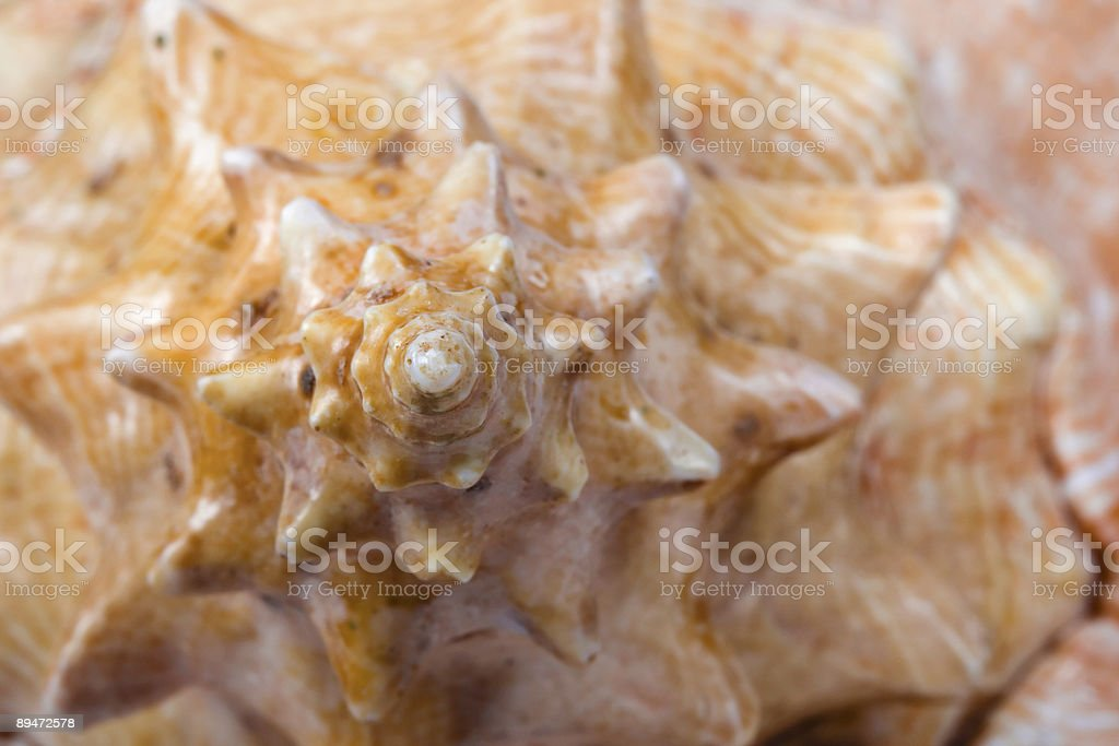Spiral on conch royalty-free stock photo