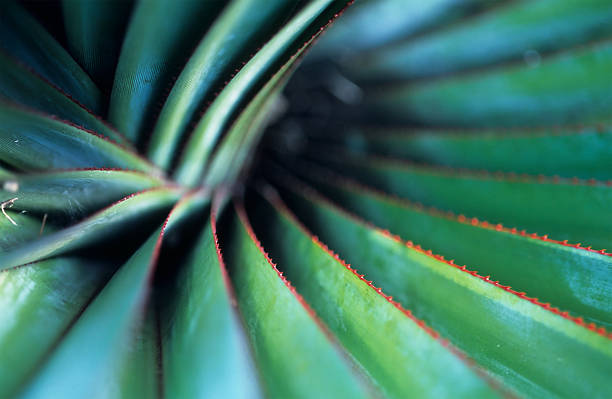 spiral palm - fibonacci pattern stock photos and pictures