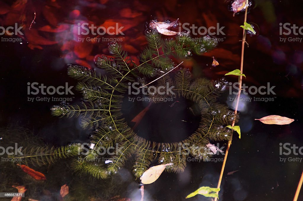 spiral plant on pond royalty-free stock photo