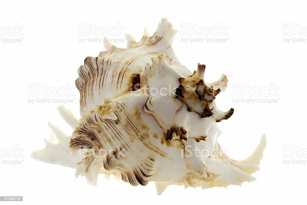 spiral shell on white stock photo
