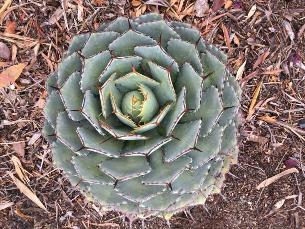 spiral succulent - resilience concept stock photos and pictures