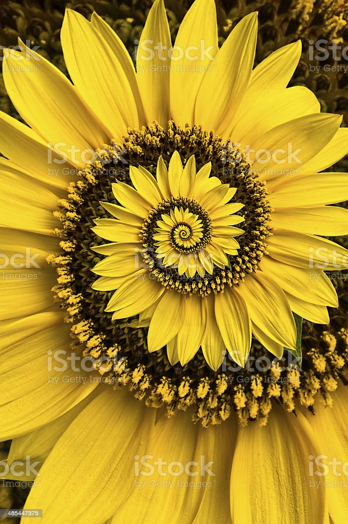 Spiral sunflower stock photo