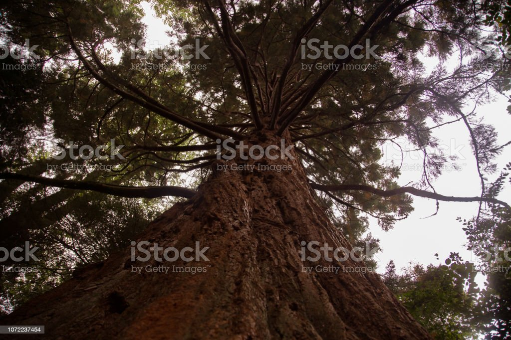Spiralling redwood stock photo