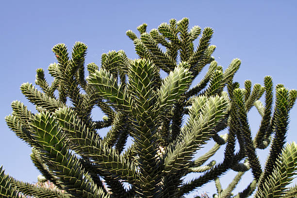 chile pine monkey-puzzle auracaria tree terminal shoots - whiteway stock photos and pictures