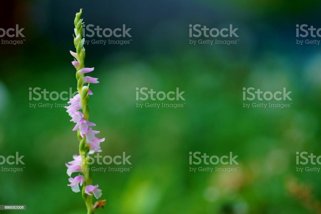 Spiranthes sinensis stock photo