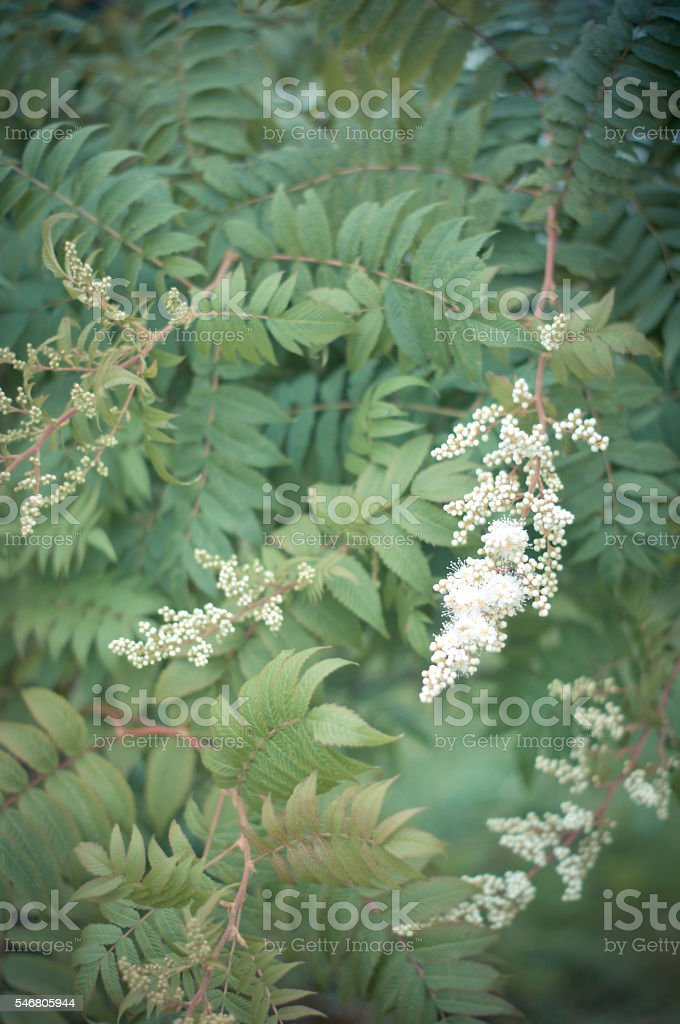 Spirea. Beautiful green floral background with flowering plant s stock photo