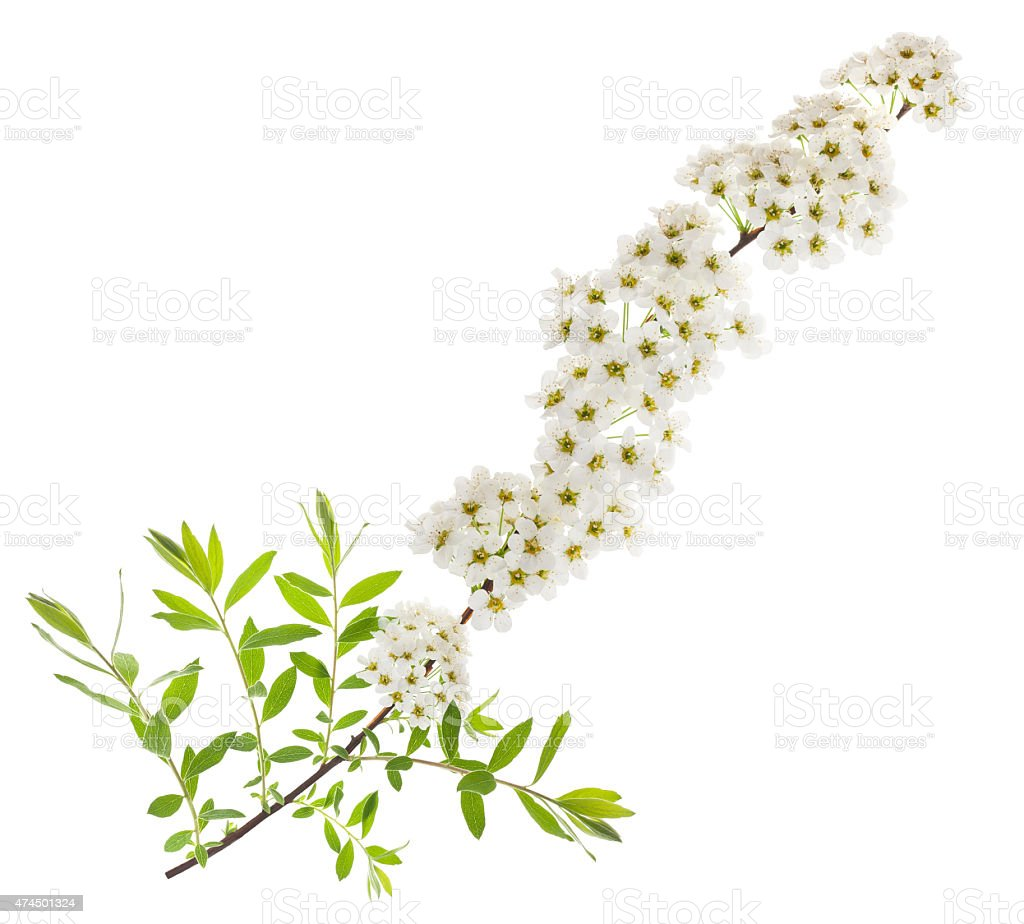 Hawthorn stock photo