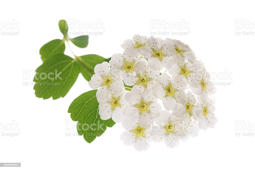 whitethorn stock photo