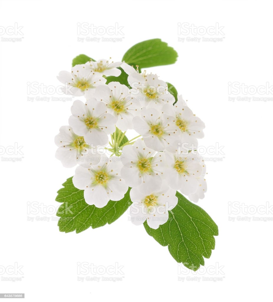 Common hawthorn or whitethorn stock photo
