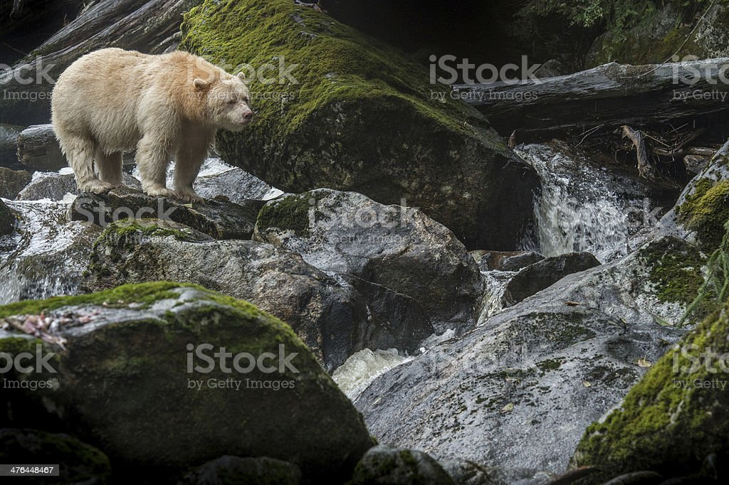 Spirit Bear, Gribbell Island, BC stock photo