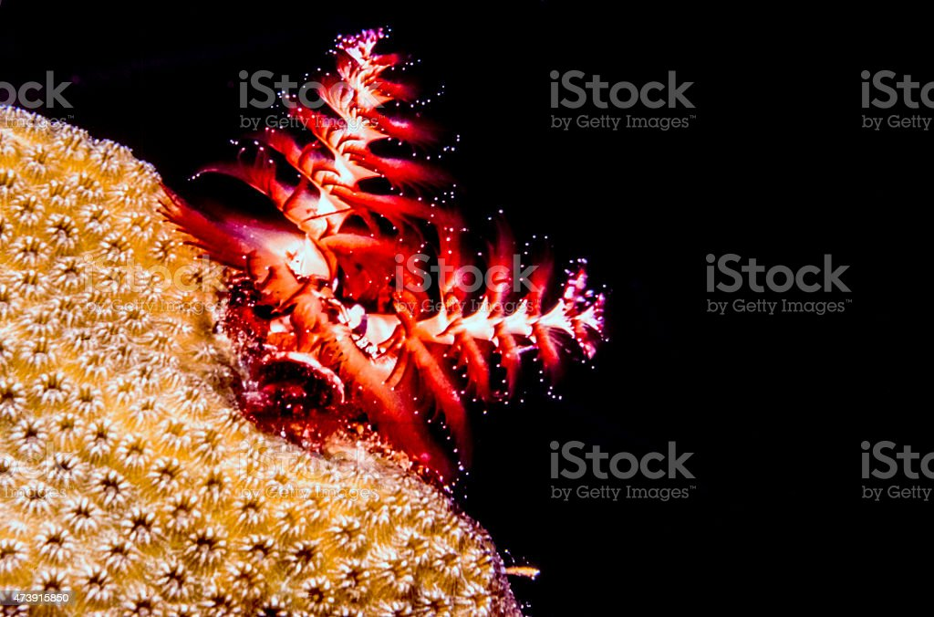 Spirobranchus giganteus, Christmas tree worms stock photo