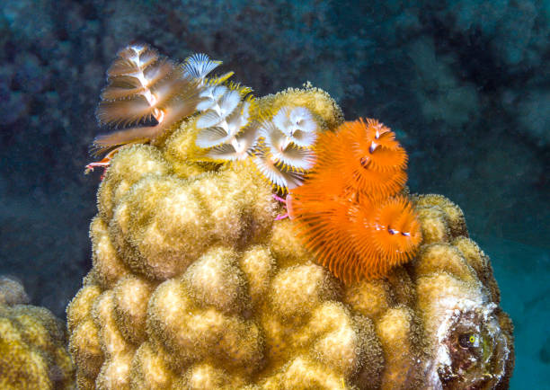 Spirobranchus giganteus, Christmas tree worms Spirobranchus giganteus, commonly known as Christmas tree worms, are tube-building polychaete worms belonging to the family Serpulidae bristle worm stock pictures, royalty-free photos & images