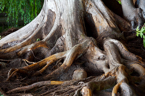 Spiry roots burrowing inside soil stock photo