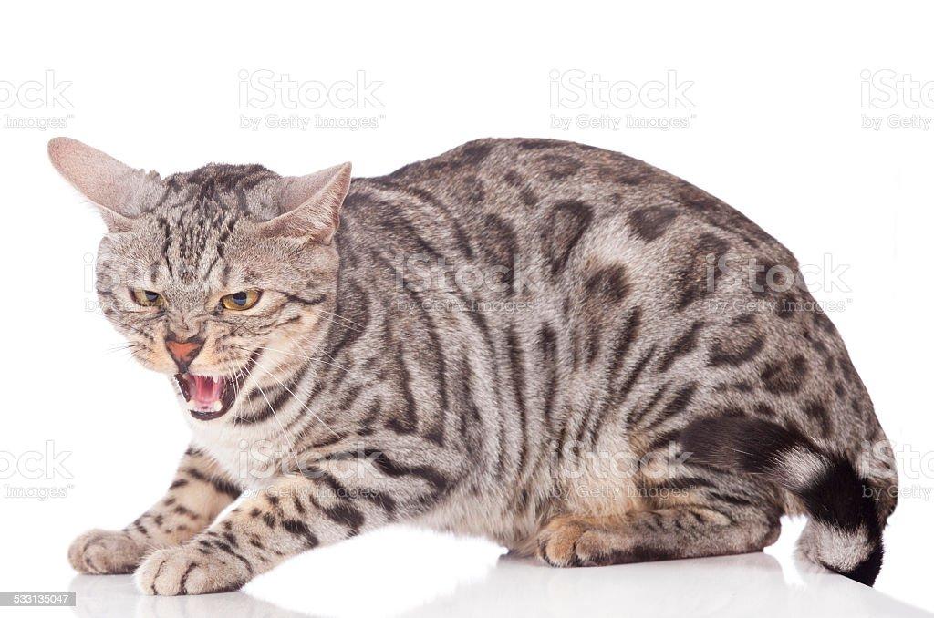 Spitting bengal cat stock photo