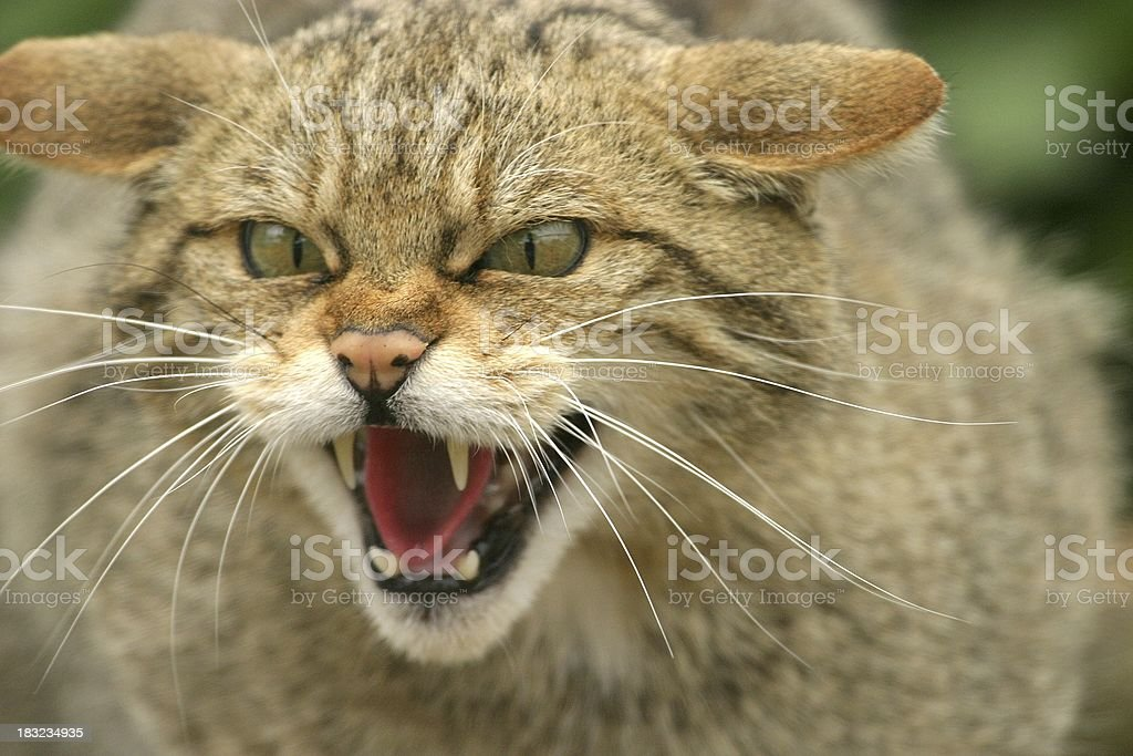 Spitting mad royalty-free stock photo