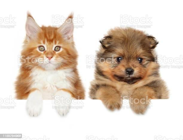 Spitz dog and maine coon cat above banner picture id1155294968?b=1&k=6&m=1155294968&s=612x612&h=7fm3zvlsyd vpyoikylbmwdhjvw4hgf41gabzfpv0sw=