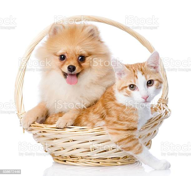 Spitz dog embraces a cat in basket looking at camera picture id538672446?b=1&k=6&m=538672446&s=612x612&h=5vs7e8ivhma2ulof qq6p8rn ryzfrhw6sicn9kcjg4=