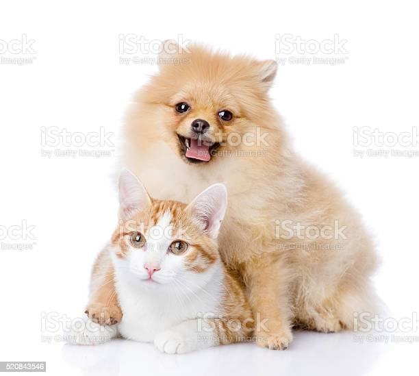 Spitz dog embraces a cat looking at camera picture id520843546?b=1&k=6&m=520843546&s=612x612&h=8zem3w99xad edaat9tytchqlrhbbsdcc01zoarzsqq=