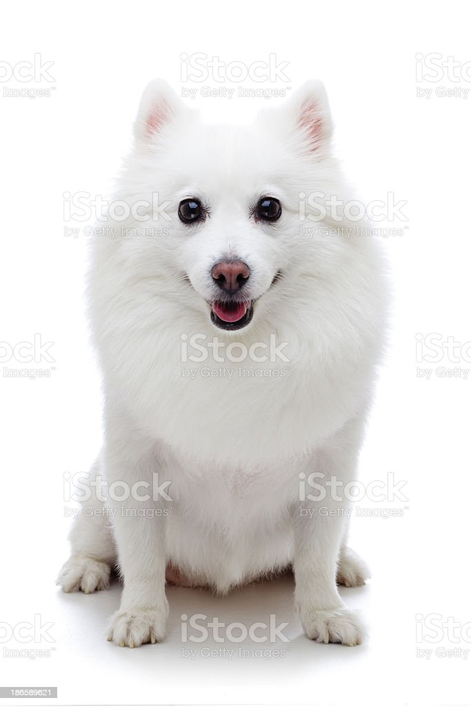 Spitz on white background. royalty-free stock photo