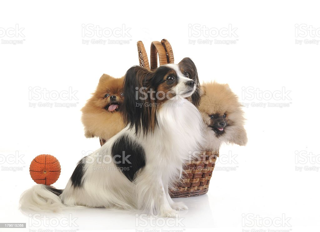 spitz, Pomeranian dog and papillon in studio royalty-free stock photo
