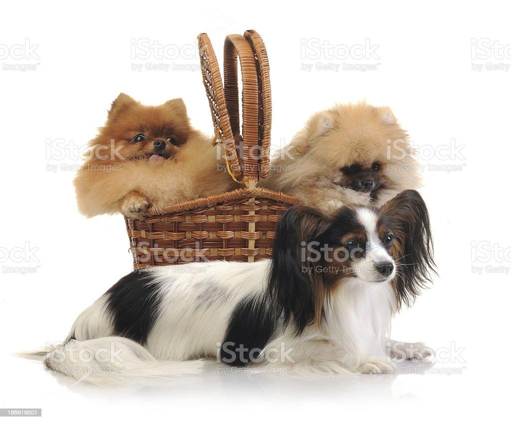 Spitz Pomeranian Dog And Papillon In Studio Stock Photo More