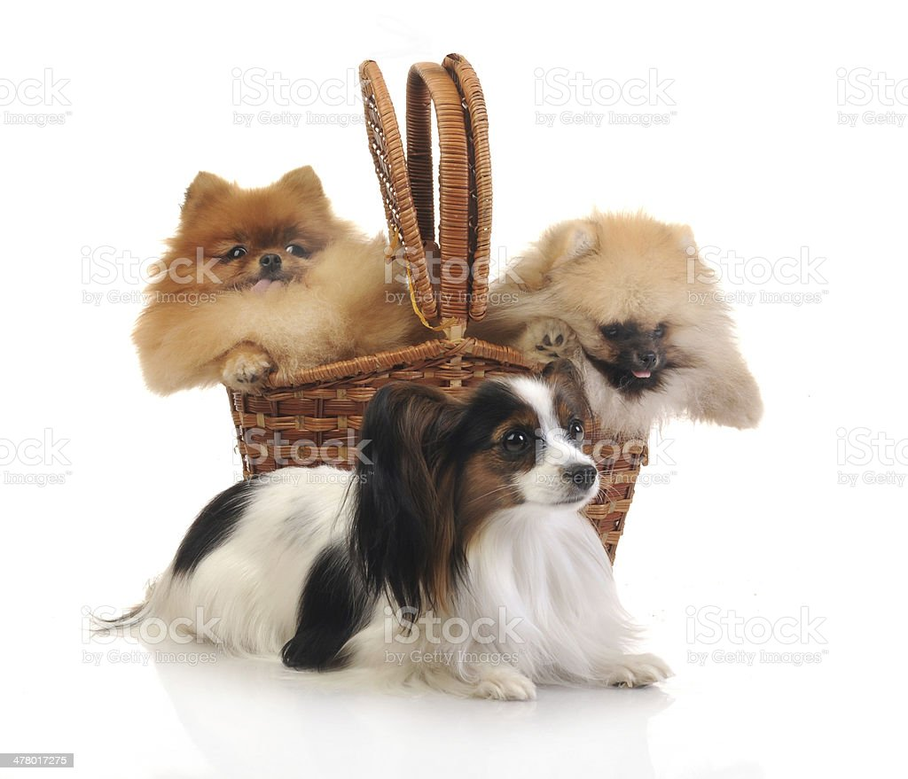 spitz, Pomeranian dog and papillon in studio royalty-free stock photo