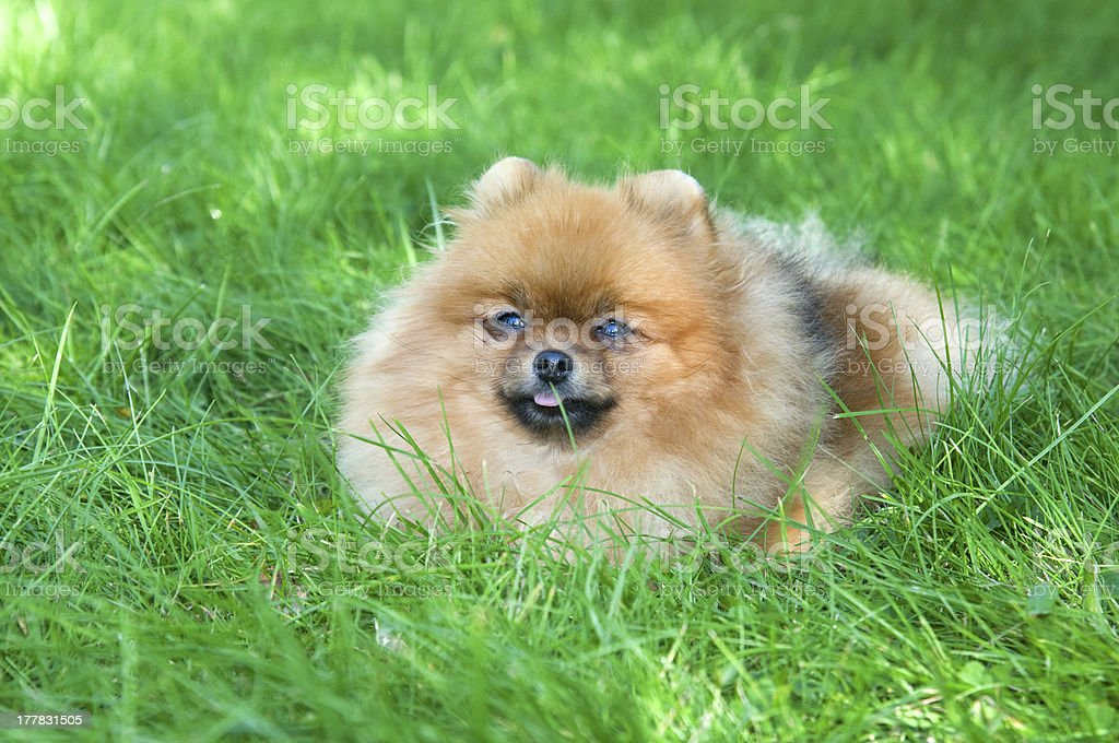 spitz, Pomeranian dog in city park royalty-free stock photo