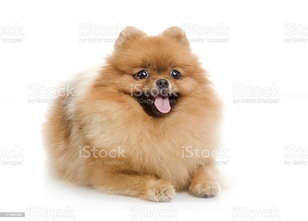 spitz, Pomeranian dog in studio royalty-free stock photo