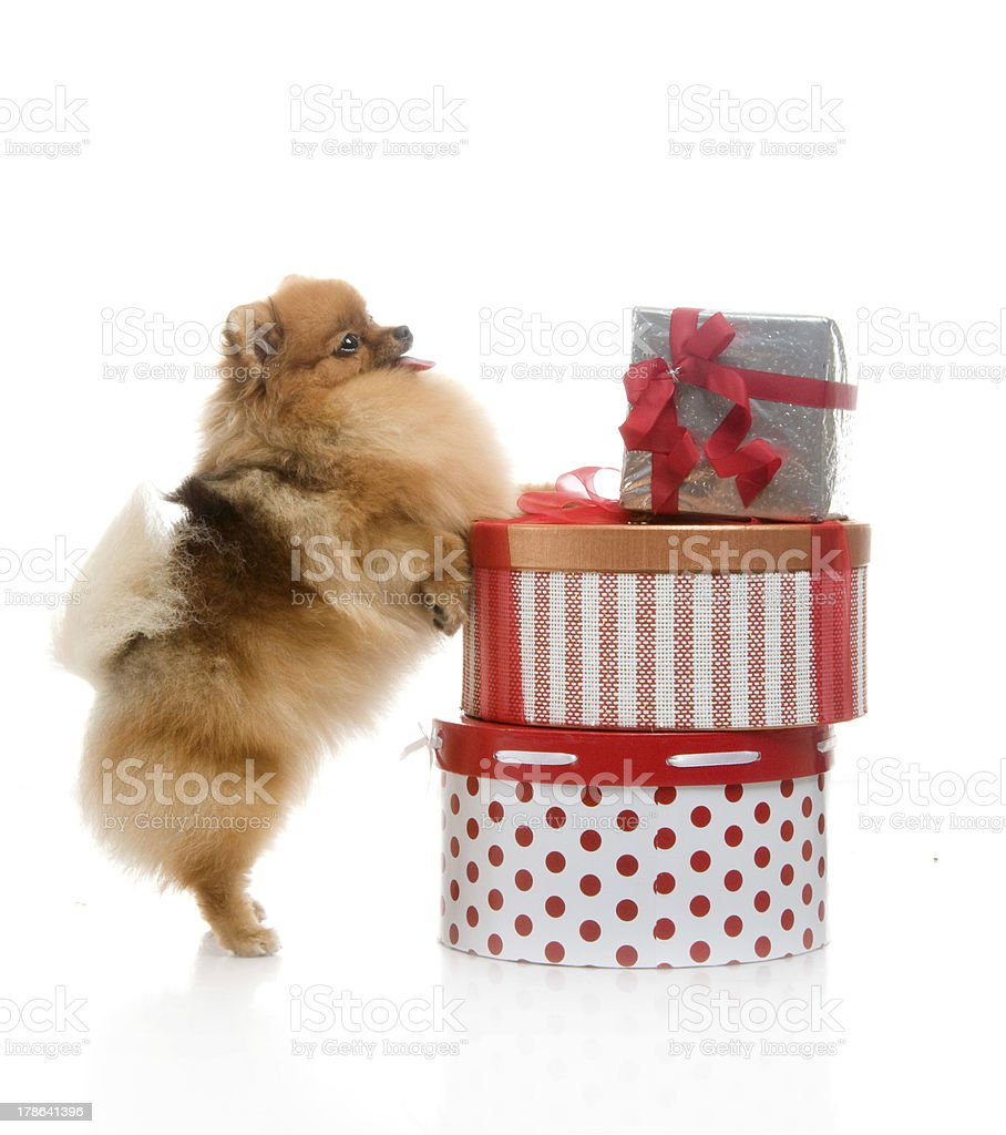 spitz, Pomeranian dog with gift-boxes in studio shot royalty-free stock photo