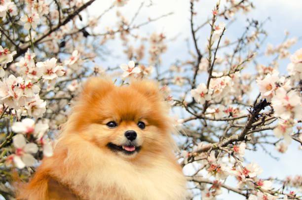 spitz, porträt eines schönen hundes gegen einen blühenden mandelbäume baum - kleinspitz stock-fotos und bilder