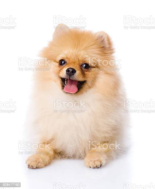Spitz puppy lying in front isolated on white background picture id528477192?b=1&k=6&m=528477192&s=612x612&h=ui2ly oomrbahdytpzmiscxfuiur9y0utaze5aprre8=