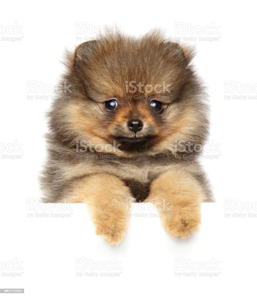 Spitz puppy on white banner royalty-free stock photo