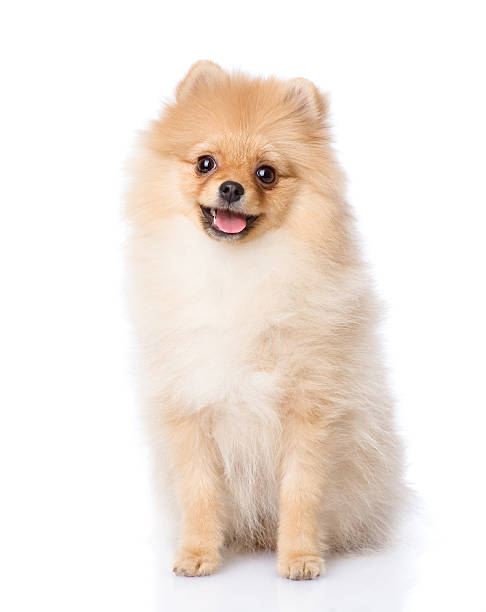 Spitz puppy sitting in front isolated on white background picture id520837962?b=1&k=6&m=520837962&s=612x612&w=0&h=jw nwujakd8e46fo5edg1j222bps0h9eru4kfuvjilg=