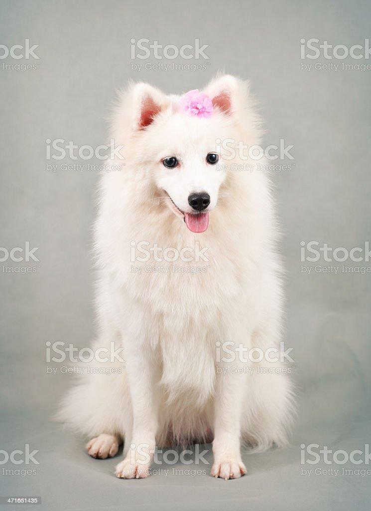 Spitz-Type Dog stock photo