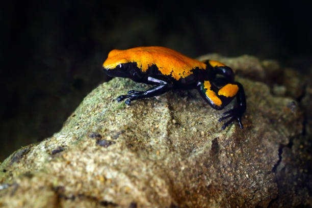 Splash-Backed Poison Frog, Adelphobates galactonotus, orange black poison frog, tropic jungle. Small Amazon frog, nature habitat. Wildlife scene, Brazil. River animal, wet stone in rain. Forest. stock photo
