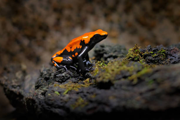 Splash-Backed Poison Frog, Adelphobates galactonotus, orange black poison frog in tropical jungle. Small Amazon frog in nature habitat. stock photo