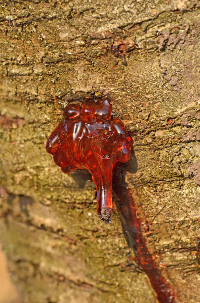Splashed resin over the bark of the wood. Drop of resin on tree. Wood resin liquid fossilized pitch stock pictures, royalty-free photos & images