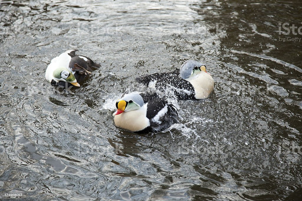 Splashing King Eiders (Somateria spektabilis) stock photo