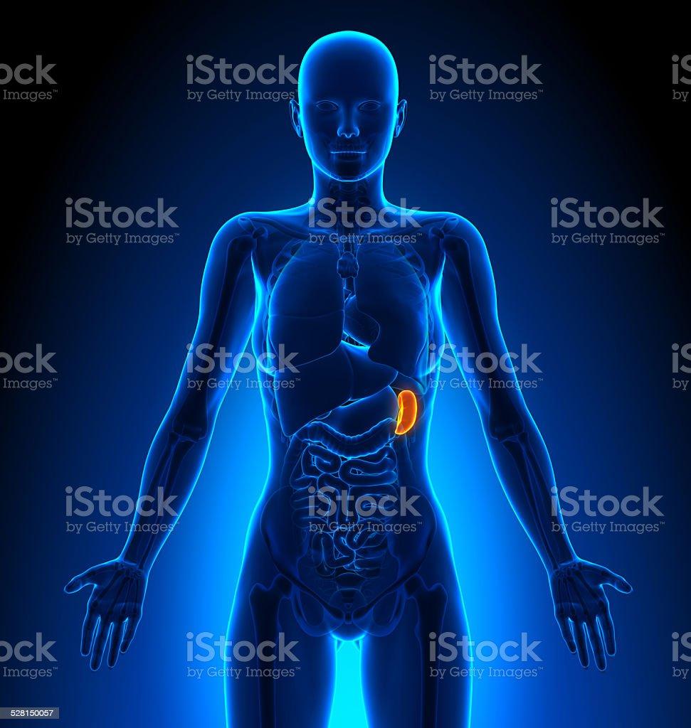 Bazo-hembra órganos de anatomía humana - foto de stock
