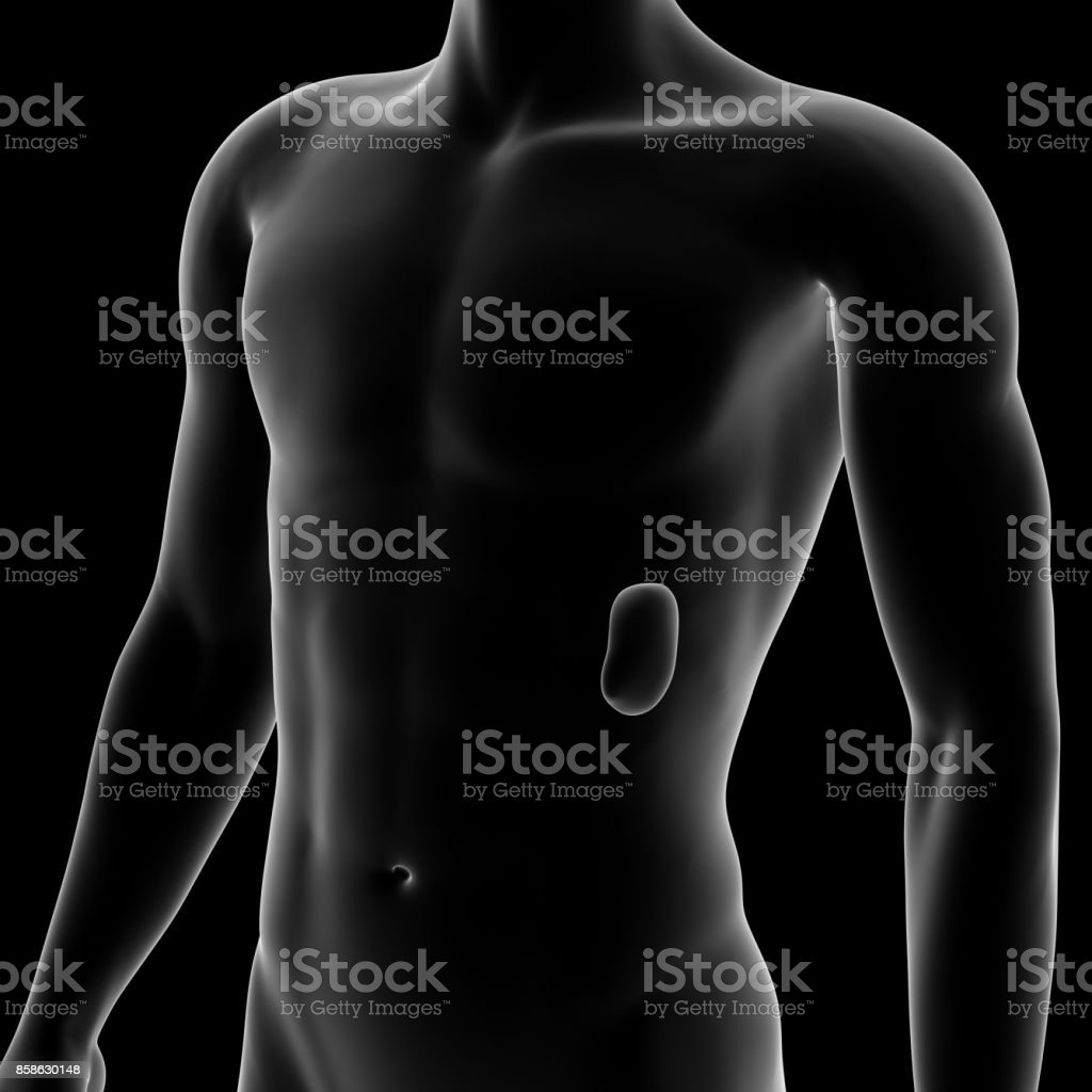 Bazo, órgano interno humano - foto de stock